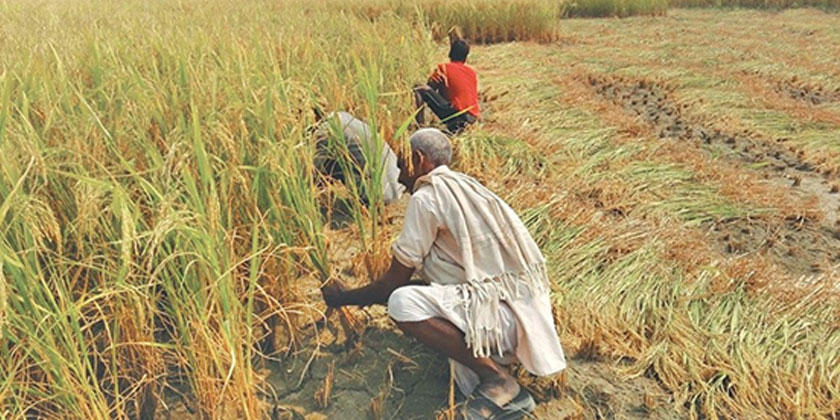 Paddy cultivation drop 30% due to deficient rain