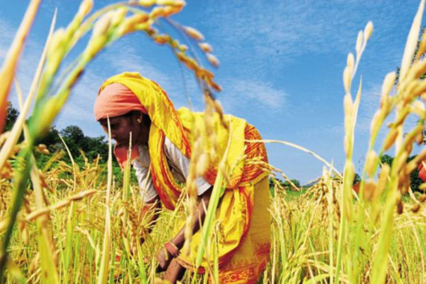 Rice to lose nutrition to warming, poor at risk