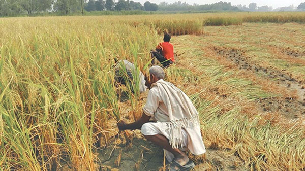 Paddy cultivation drops 30% due to deficient rain