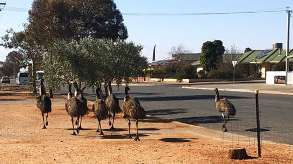 Broken Hill plagued by emus as they head into town in search of food, water
