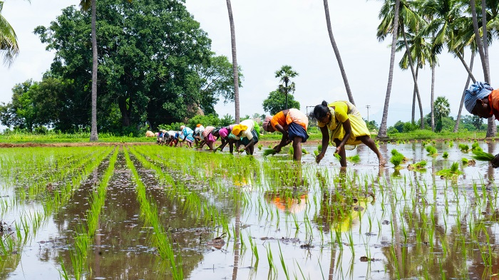 The future of rice: Shrinking production area, yield and productivity