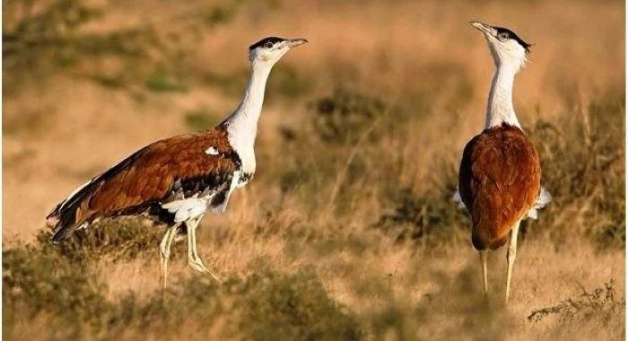 Green firms to seek revision to SC ruling protecting endangered Great Indian Bustard