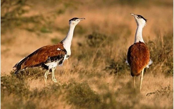 2 months after SC ruling, new bird diverters still missing in Great Indian Bustard habitats